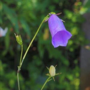 ハナブサソウが今年も綺麗に咲きました。ハナブサソウは朝鮮・・・