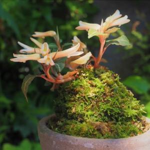 開花中の山野草、夏の花が次々と、 ベニシュスラン、ナゴラン、 それに・・・