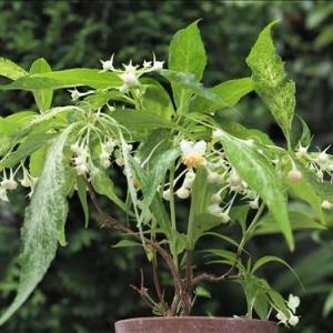 今、美しい斑入り植物・・・ バイカアマチャが開花しています。