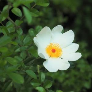 まるで日の丸のバラこと、カカヤンバラと緑花八重咲きのバラ、 そして・・・