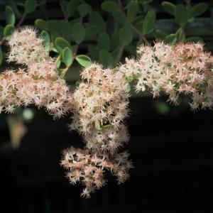 ツガルミセバヤとその桃色花で~す。 桃色花は交雑種かも解りませ~ん。