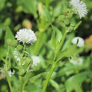 帰化植物も自然に融合して、 熱帯アメリカからのミズヒマワリ、北米からの・・・