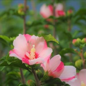 散策路のお庭や畑も花盛り、 そっと、盗み撮り、 ゴメンなさい ! イマサラって言われそうですね!