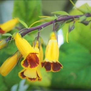 マツムラソウ・・・ 山野草とは思えない程に美しい花、秋の影武者で~す。