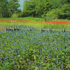 ミズアオイの大群生・・・ 今年も見事に咲き揃いました。