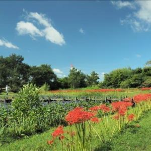 ヒガンバナとオニバス、 そしてミズアオイ・・・ 今年も見事に咲き揃いました。