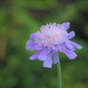 ソナレマツムシソウで~す。実生から2年目の開花です・・・