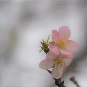 桜の花がチラリホラリ、足元にはコセンダングサ、 キツネノマゴ、それに・・・