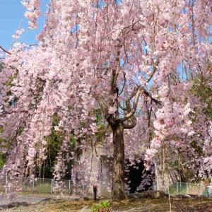 新長谷寺のしだれ桜が見頃です!四国中央市の桜スポット