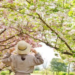 八重桜の並木道~西条市・船屋乙緑化地帯にて見頃(2021年)