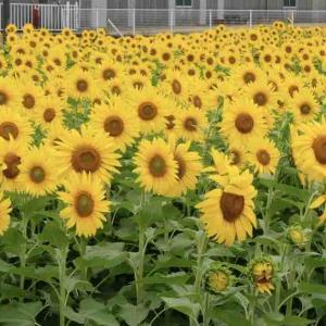 今治市玉川のひまわり畑2021~満開です!