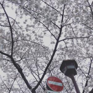 せっかくの桜