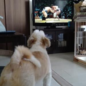 お相撲に吠える犬