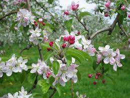桜はどこでも見るが、リンゴの花は・・