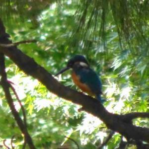 名城公園の野鳥・カワセミ