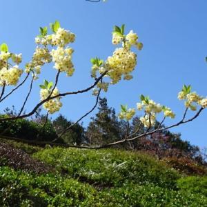 3月12日の白鳥庭園・花