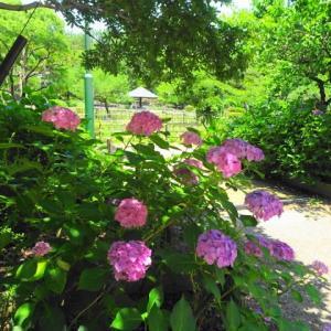 鶴舞公園の紫陽花へ・旅ラン・4