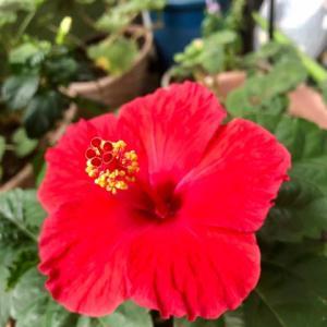 夏の花・赤いハイビスカス