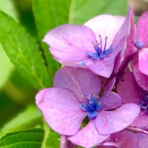 かわいい紫陽花
