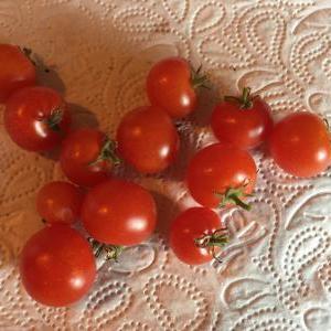 ミニトマトもこれで終わり