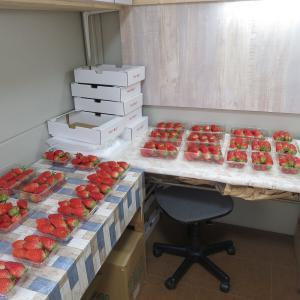 24日のイチゴは