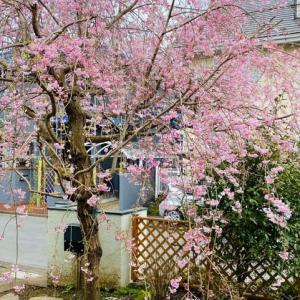 我が家のしだれ桜