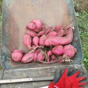 サツマイモを収穫しました。