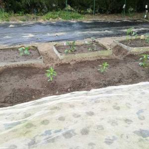夏野菜の苗の定植