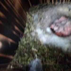今日のシジュウカラの巣箱の様子
