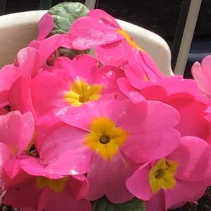 も少しでソメイヨシノ満開の桜