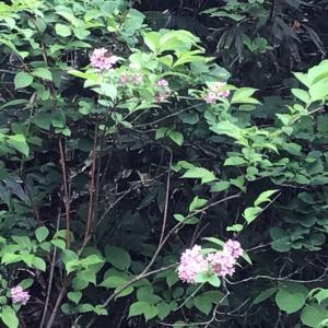 雨上がり苗場山で出会った花達