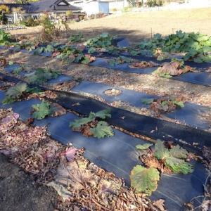 冬肥施用など越冬メンテナンスをしました