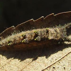 オオムラサキ越冬幼虫20200321