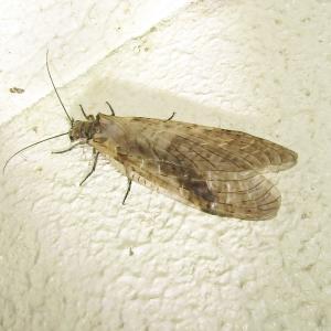 ヤマトクロスジヘビトンボ20200525・0606