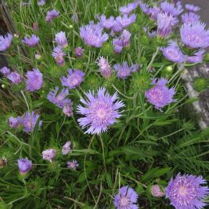ストケシアの花20200622
