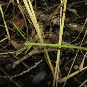 ナナフシモドキ幼虫自切20200622