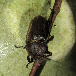 カブトムシ♀飛来・大型甲虫の季節到来!20200626