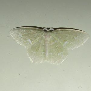 ウスミズアオシャク20200517