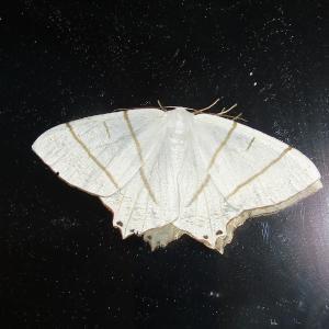 シロツバメエダシャク20200620