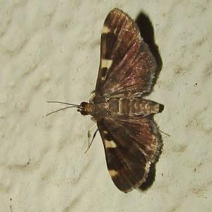 クビシロノメイガ♀20200629・0814