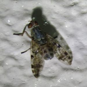 オオマダラヒロクチバエ20200905