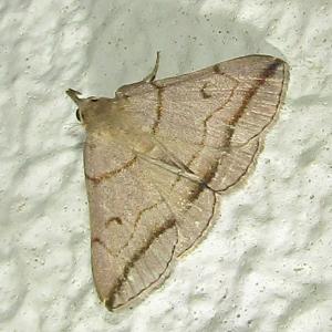 ツマオビアツバ20200905