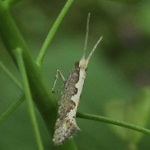 コナガ♂・幼虫20210329