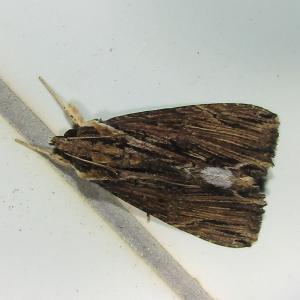 モンムラサキクチバ春型♂20210331