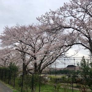 内蓑輪運動公園、桜の開花情報🌸