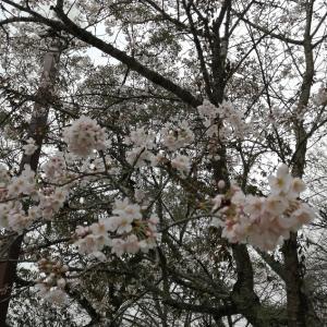 雨上がりの桜と椿