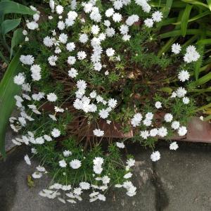 頑張ってる庭の花