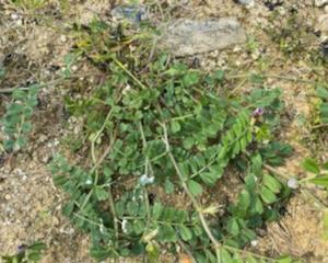 庭のカラスのエンドウ豆を草取り