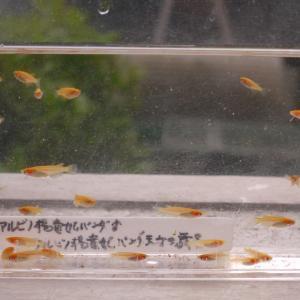 アルビノ楊貴妃パンダ系の稚魚  今日も水替え