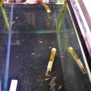 今季の室内水槽 飼育は人口餌を少なくしてミジンコで大きくしてみたい